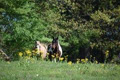 Dois cavalos em um campo aberto Imagem de Stock