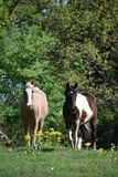Dois cavalos em um campo aberto Fotos de Stock Royalty Free