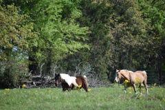 Dois cavalos em um campo aberto Imagem de Stock Royalty Free