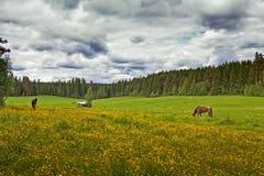 Dois cavalos em um campo do verão fotos de stock