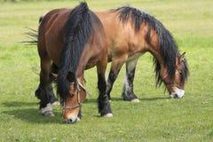 Cavalos em um campo Fotos de Stock Royalty Free