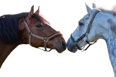 Dois cavalos em um fundo branco Fotografia de Stock