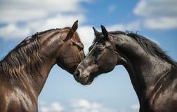 Dois cavalos em um fundo do céu Fotos de Stock Royalty Free
