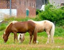 Dois cavalos em um prado Imagens de Stock Royalty Free