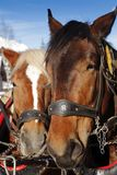 Dois cavalos em uma equipe foto de stock