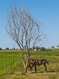Dois cavalos em uma exploração agrícola de Amish fotografia de stock royalty free