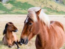 Dois cavalos islandêses em VÃk, Islândia fotografia de stock