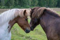 Dois cavalos islandêses fecham-se e oferecem-se entre si imagem de stock royalty free