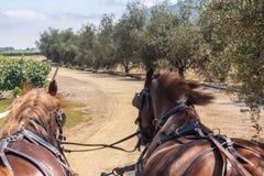 Cavalos Charriot no vinhedo o Chile foto de stock royalty free