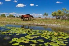 Dois cavalos na borda de uma canaleta da água Fotografia de Stock