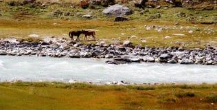 Dois cavalos no lado do rio Imagem de Stock