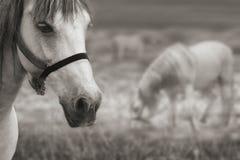 Dois cavalos no Sepia Fotos de Stock
