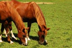 Dois cavalos no uníssono Fotografia de Stock Royalty Free