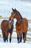 Dois cavalos novos no campo de neve Fotografia de Stock Royalty Free