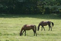 Dois cavalos que comem a grama Imagem de Stock Royalty Free