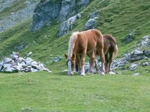 Dois cavalos que comem a grama na montanha Imagem de Stock
