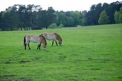 Dois cavalos que comem junto Fotos de Stock Royalty Free