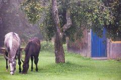 Dois cavalos que comem maçãs na grama no campo Fotos de Stock Royalty Free