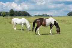 Dois cavalos que comem no prado antes do céu azul Fotografia de Stock Royalty Free