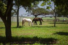 Dois cavalos que comem no prado no dia ensolarado Imagens de Stock