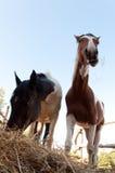 Dois cavalos que comem o feno. Foto de Stock