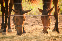 Dois cavalos que comem o feno Imagem de Stock Royalty Free