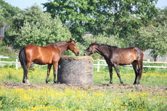 Dois cavalos que comem o feno do pacote Foto de Stock