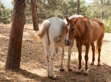 Dois cavalos que compartilham de um momento Fotos de Stock Royalty Free