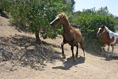 Dois cavalos que correm dentro de um prado Imagem de Stock Royalty Free