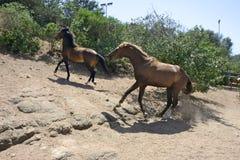 Dois cavalos que correm dentro de um prado Fotografia de Stock Royalty Free