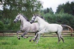 Dois cavalos que correm em um campo junto Imagem de Stock Royalty Free