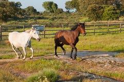 Dois cavalos que correm em um campo verde Foto de Stock