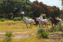 Dois cavalos que correm em um campo verde Foto de Stock Royalty Free