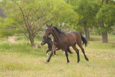 Dois cavalos que correm na floresta Imagens de Stock