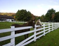 Dois cavalos que estão atrás de uma cerca em uma terra Fotos de Stock Royalty Free