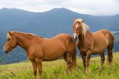 Dois cavalos que estão no campo e as montanhas e o olhar para a frente Cavalos selvagens paisagem Carpathian nos Carpathians, Ucr Fotografia de Stock