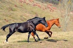 Dois cavalos que galopam no campo Imagens de Stock