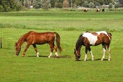 Dois cavalos que pastam na pastagem Imagens de Stock Royalty Free