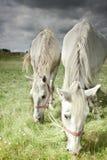 Dois cavalos que pastam no campo Fotografia de Stock