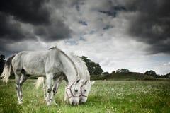 Dois cavalos que pastam no campo Imagens de Stock Royalty Free