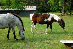 Dois cavalos que pastam no campo Foto de Stock Royalty Free