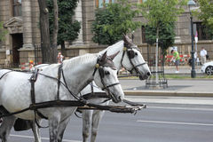 Dois cavalos que puxam o transporte Imagens de Stock