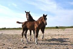 Dois cavalos que são curieus Imagens de Stock Royalty Free