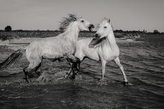 Dois cavalos selvagens fotografia de stock