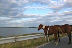 Dois cavalos selvagens que estão na estrada Fotos de Stock