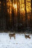 Dois cervos Imagens de Stock