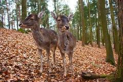 Dois cervos alqueivados Imagens de Stock