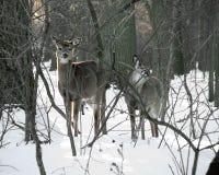 Dois cervos curiosos na neve na forja do vale imagem de stock
