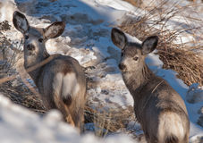 Dois cervos de mula novos Foto de Stock Royalty Free