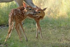Dois cervos de whitetail Foto de Stock Royalty Free